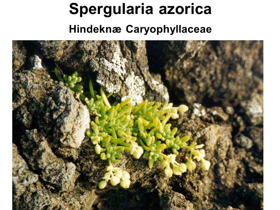 Spergularia azorica Hindeknæ Caryophyllaceae