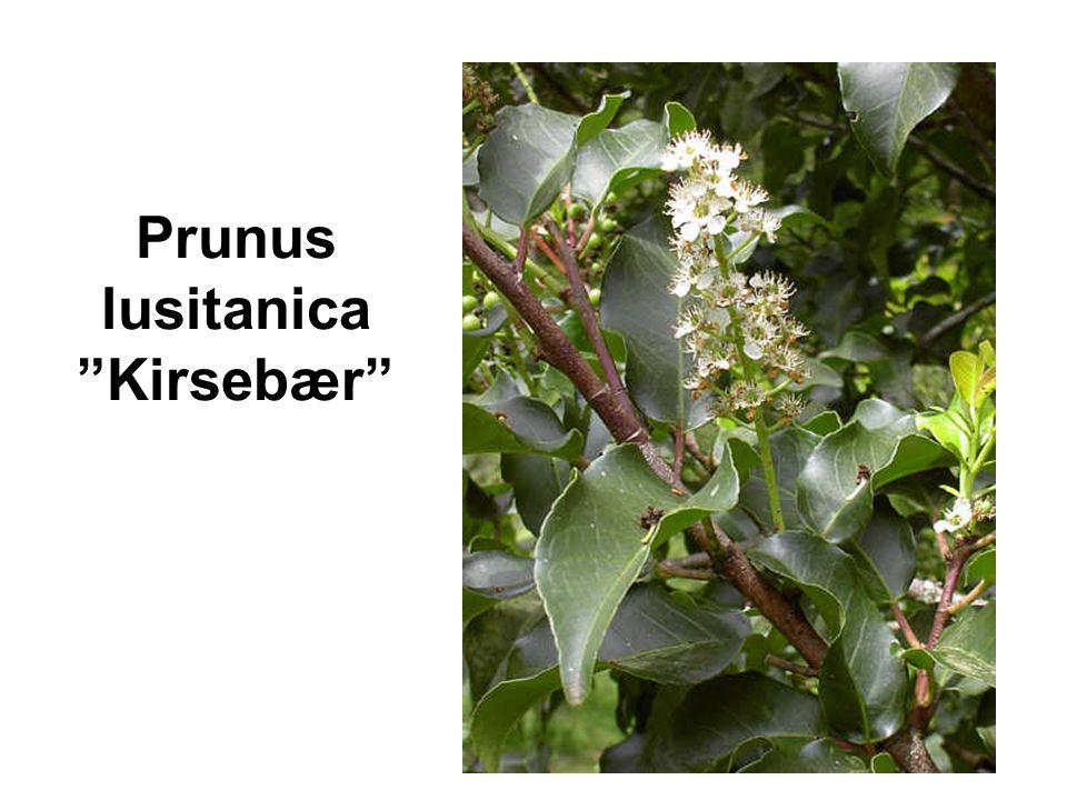 Prunus lusitanica Kirsebær