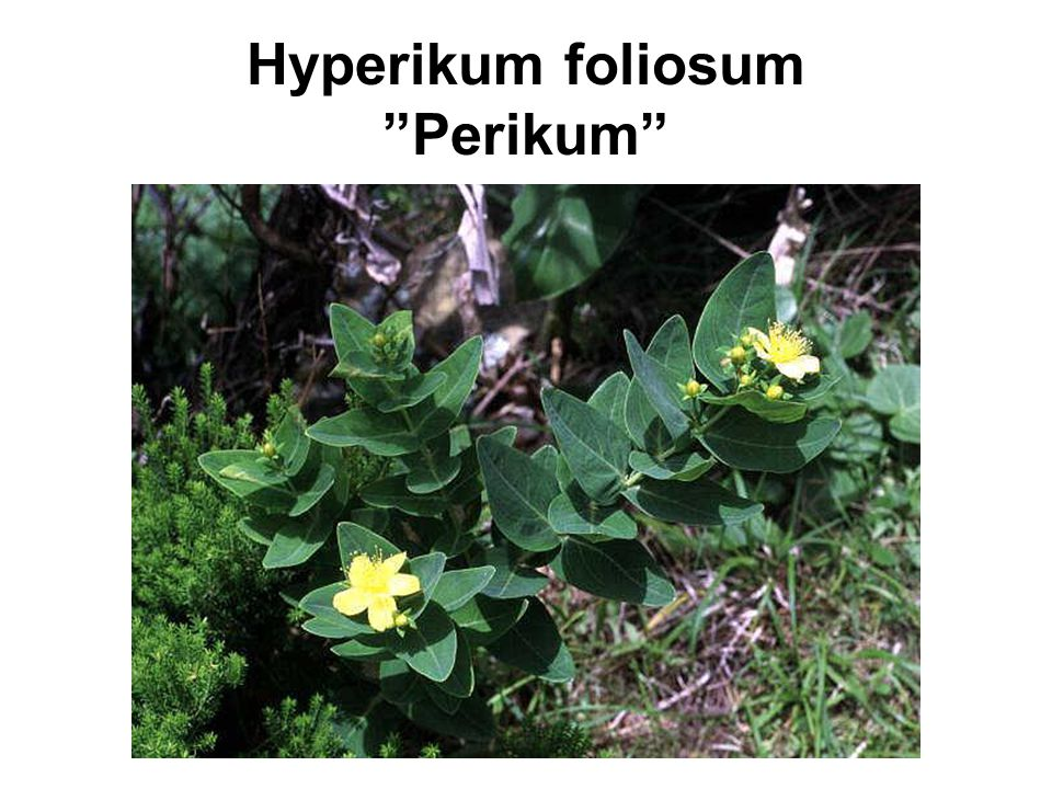 Hyperikum foliosum Perikum