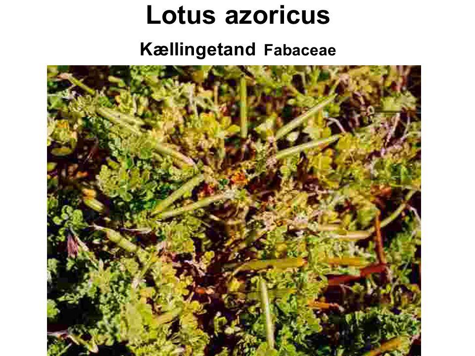 Lotus azoricus Kællingetand Fabaceae