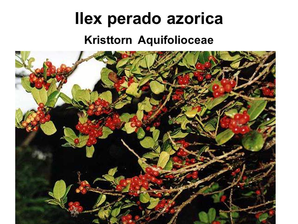 Ilex perado azorica Kristtorn Aquifolioceae