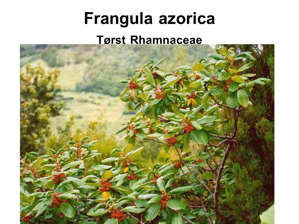 Frangula azorica Tørst Rhamnaceae