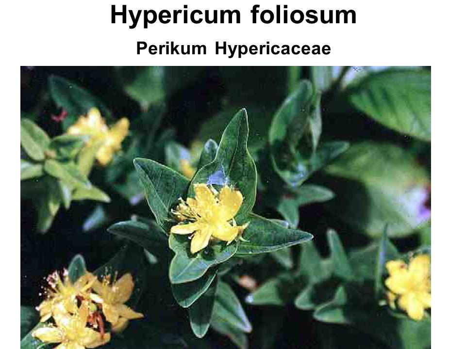 Hypericum foliosum Perikum Hypericaceae