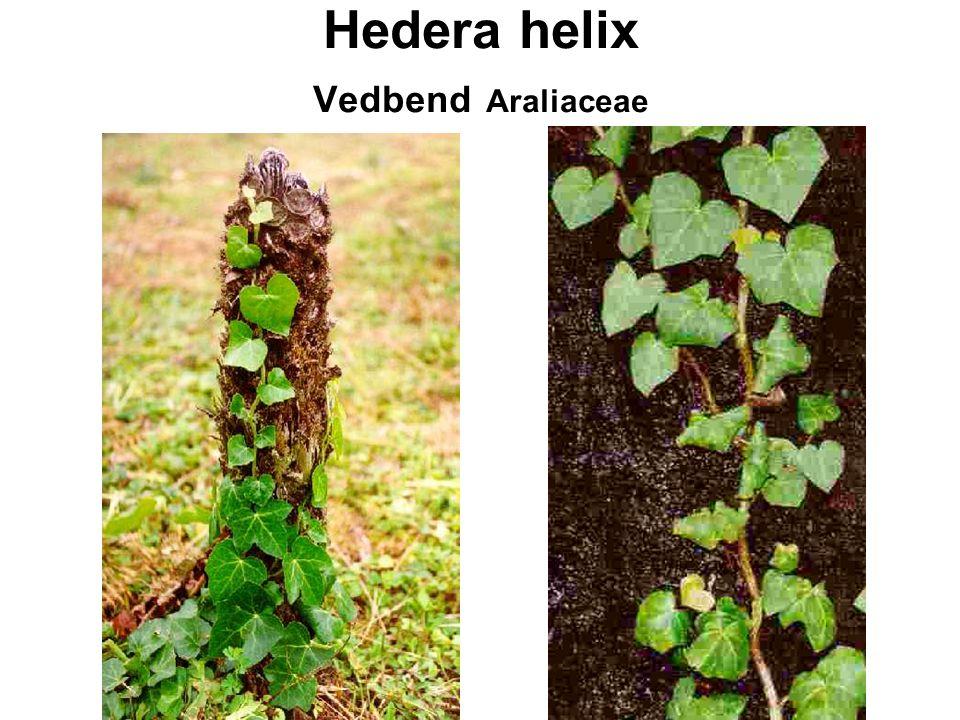 Hedera helix Vedbend Araliaceae