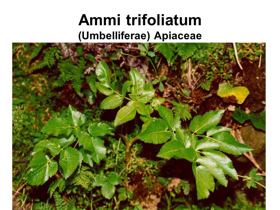Ammi trifoliatum (Umbelliferae) Apiaceae