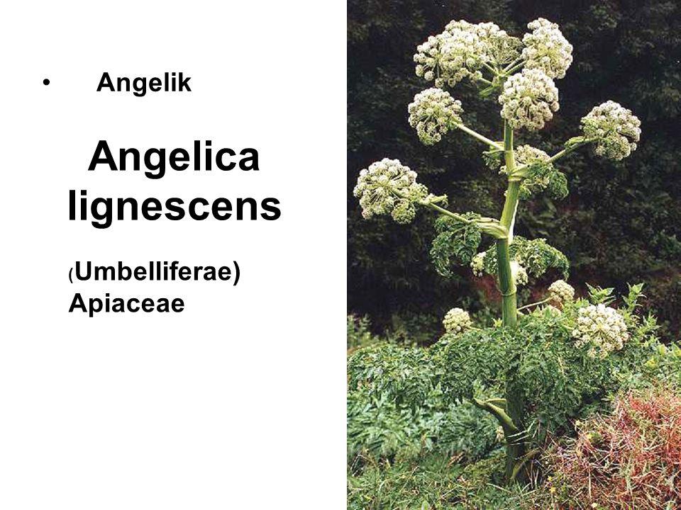 Angelica lignescens Angelik ( Umbelliferae) Apiaceae