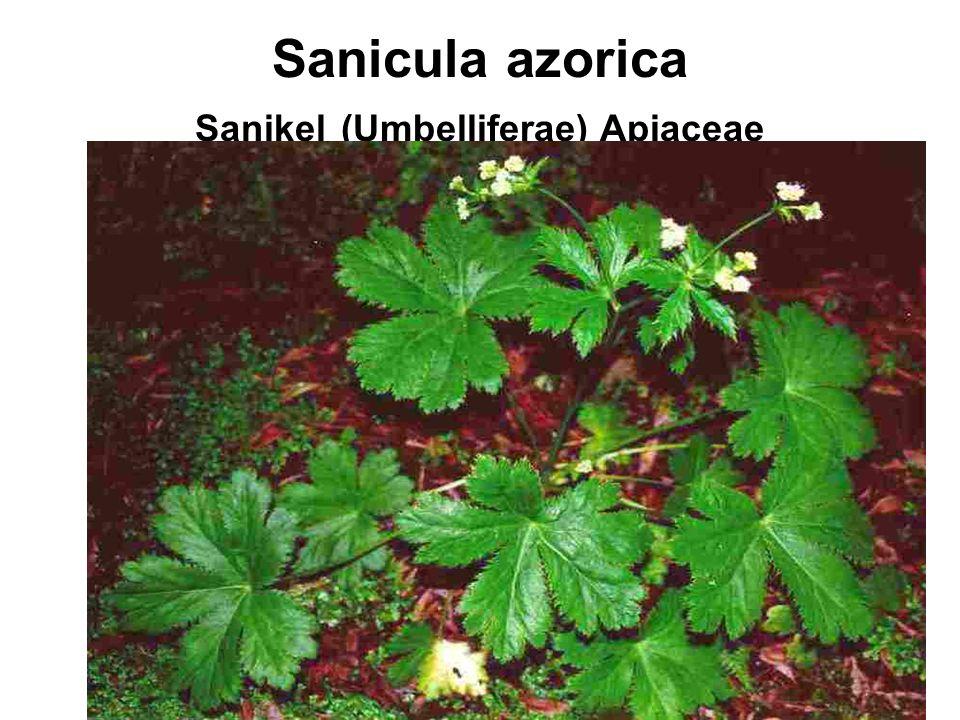 Sanicula azorica Sanikel (Umbelliferae) Apiaceae