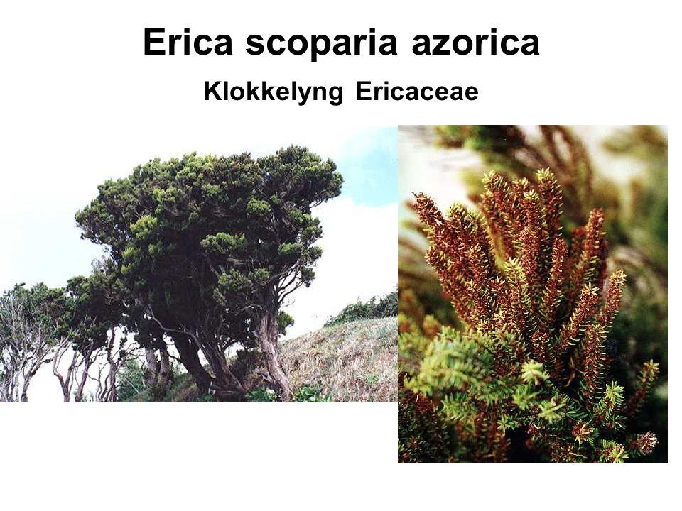 Erica scoparia azorica Klokkelyng Ericaceae