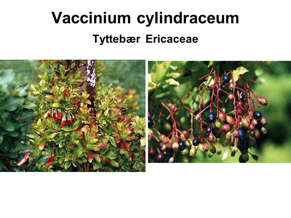 Vaccinium cylindraceum Tyttebær Ericaceae
