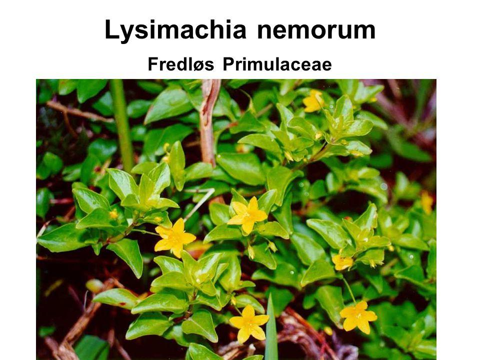 Lysimachia nemorum Fredløs Primulaceae