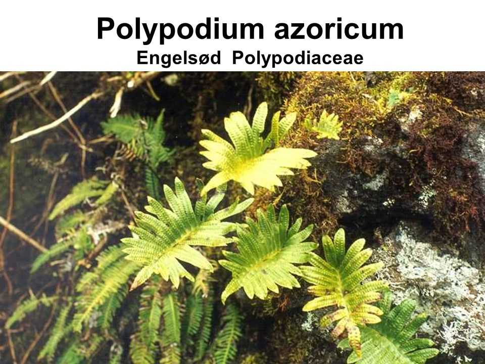 Polypodium azoricum Engelsød Polypodiaceae