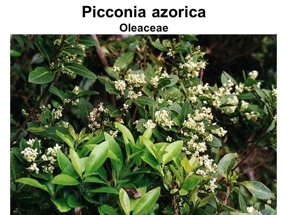 Picconia azorica Oleaceae