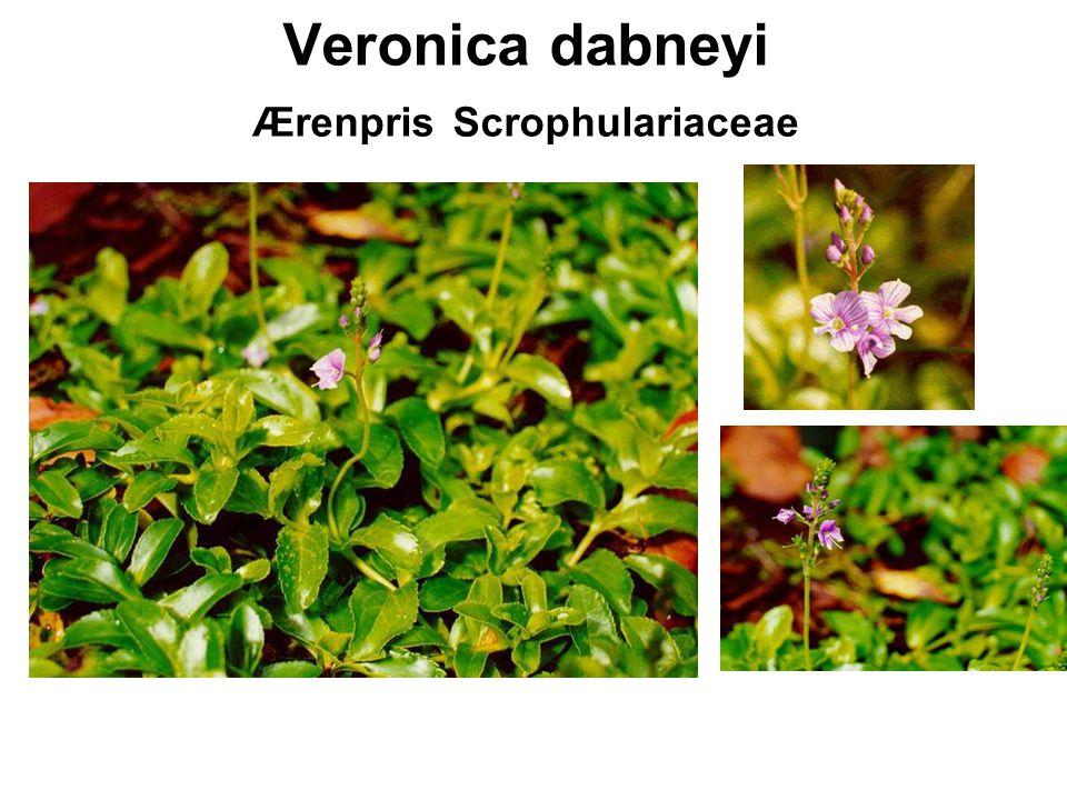 Veronica dabneyi Ærenpris Scrophulariaceae