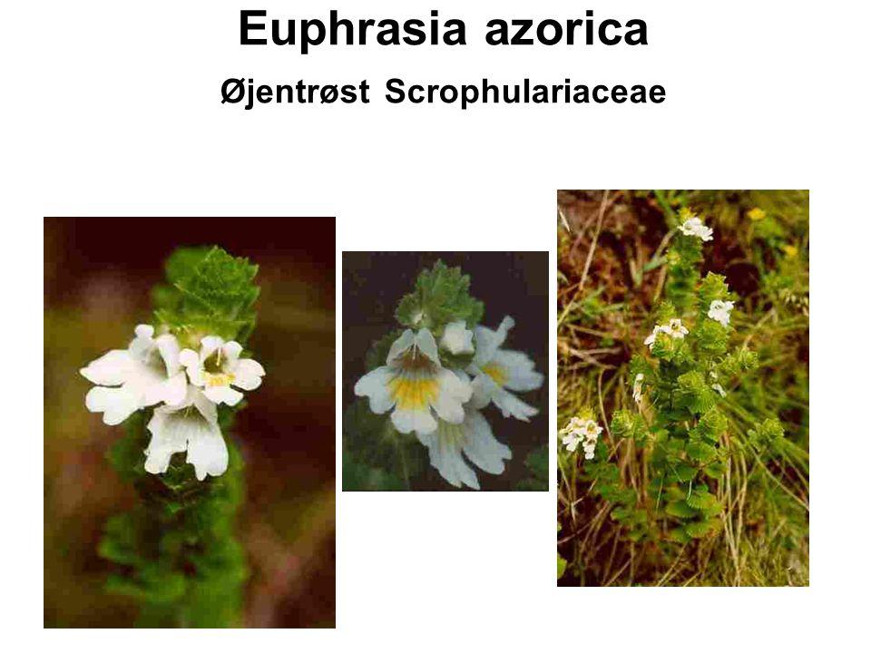 Euphrasia azorica Øjentrøst Scrophulariaceae