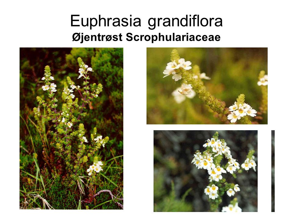 Euphrasia grandiflora Øjentrøst Scrophulariaceae