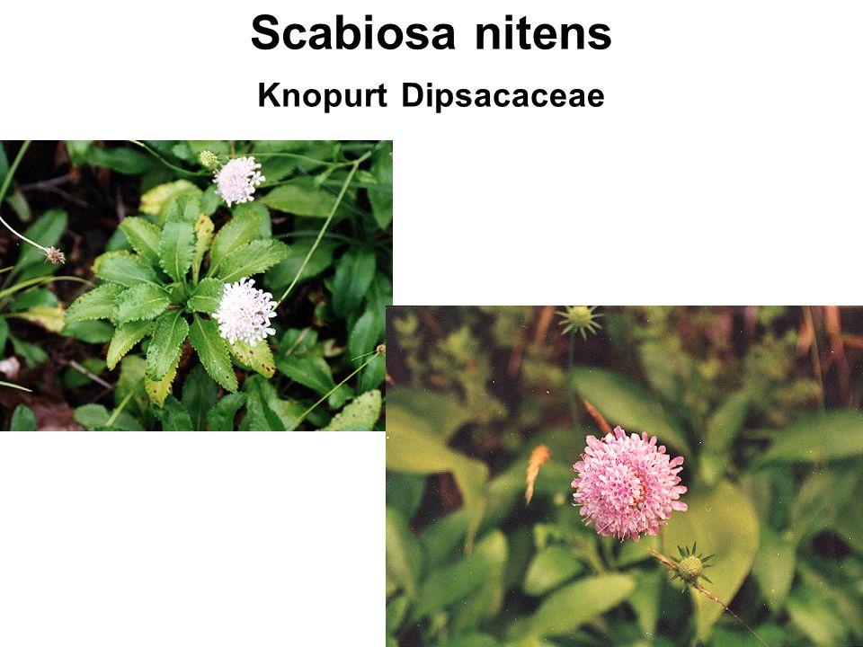Scabiosa nitens Knopurt Dipsacaceae