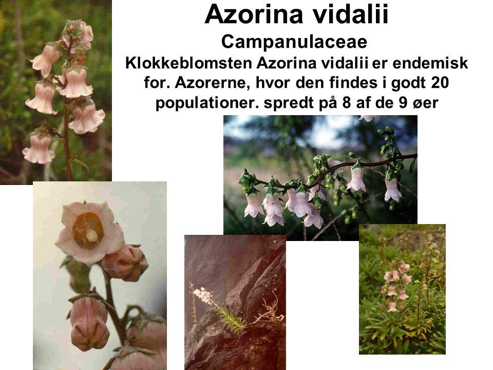 Azorina vidalii Campanulaceae Klokkeblomsten Azorina vidalii er endemisk for.