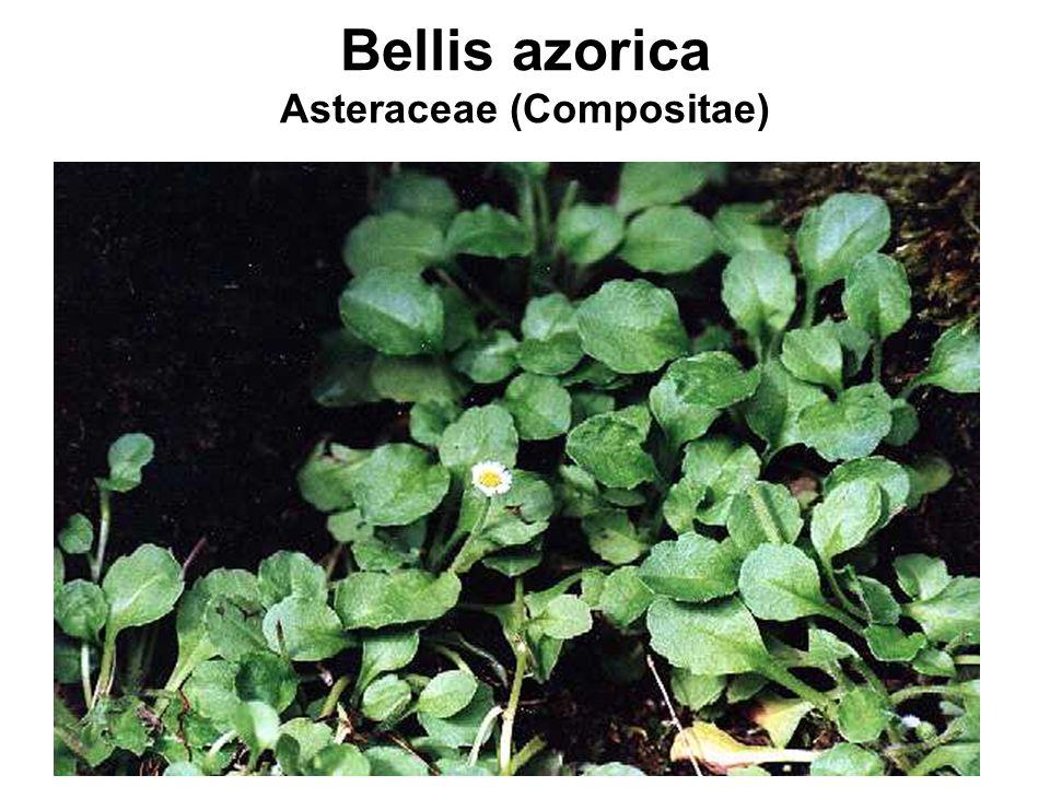 Bellis azorica Asteraceae (Compositae)