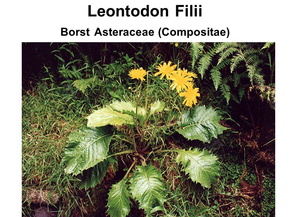 Leontodon Filii Borst Asteraceae (Compositae)