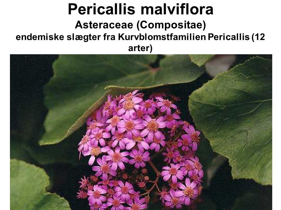 Pericallis malviflora Asteraceae (Compositae) endemiske slægter fra Kurvblomstfamilien Pericallis (12 arter)