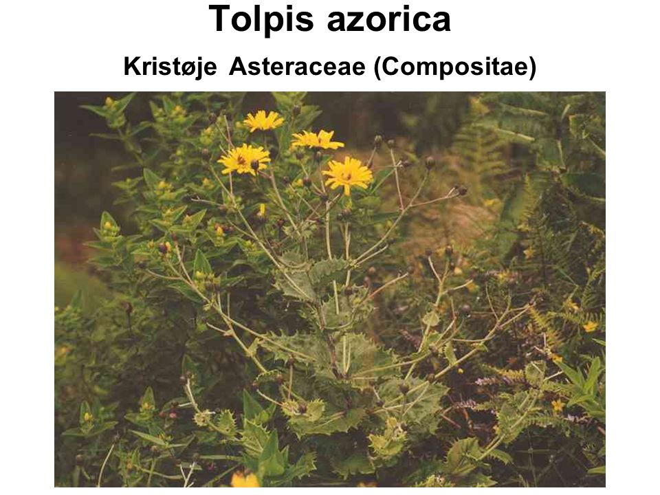 Tolpis azorica Kristøje Asteraceae (Compositae)