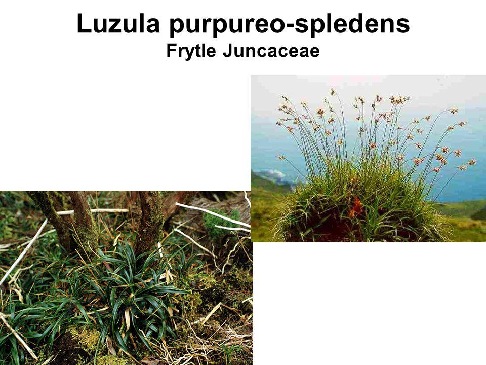 Luzula purpureo-spledens Frytle Juncaceae