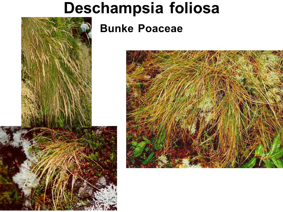 Deschampsia foliosa Bunke Poaceae