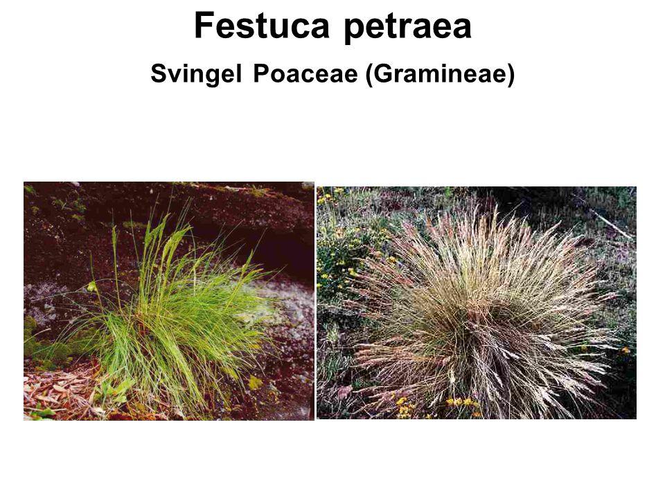 Festuca petraea Svingel Poaceae (Gramineae)