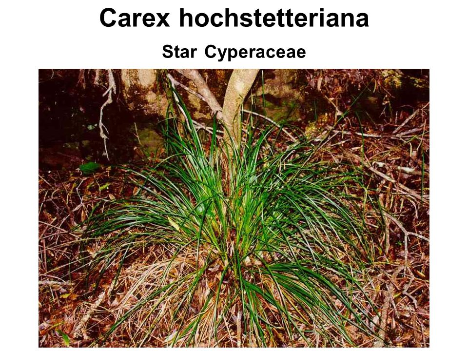 Carex hochstetteriana Star Cyperaceae