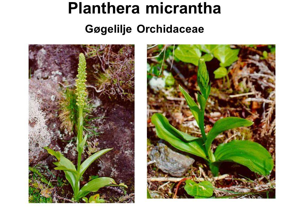 Planthera micrantha Gøgelilje Orchidaceae