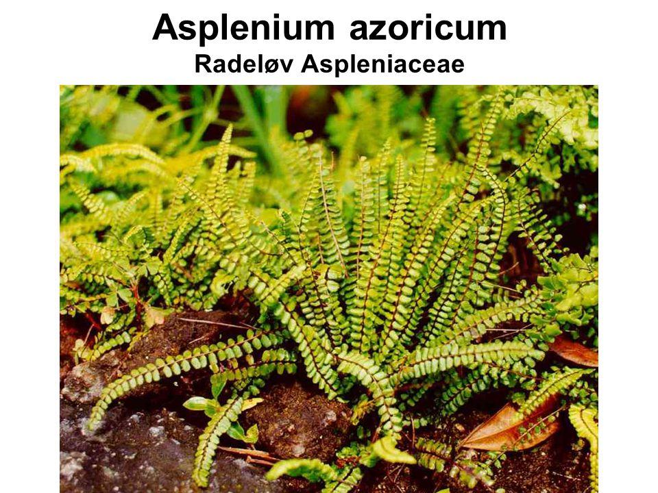 Asplenium azoricum Radeløv Aspleniaceae
