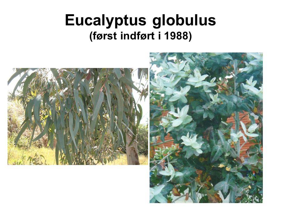 Eucalyptus globulus (først indført i 1988)