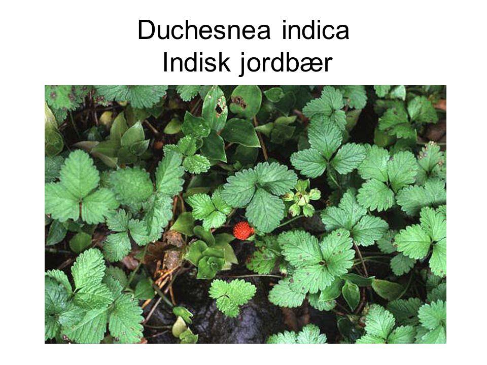 Duchesnea indica Indisk jordbær