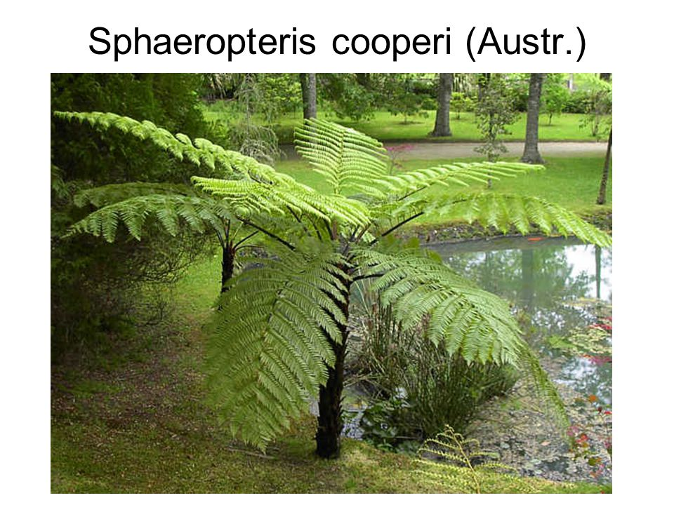 Sphaeropteris cooperi (Austr.)