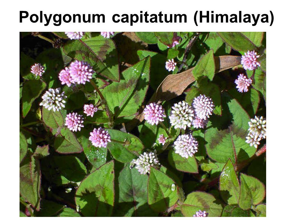 Polygonum capitatum (Himalaya)