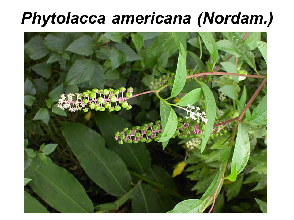 Phytolacca americana (Nordam.)