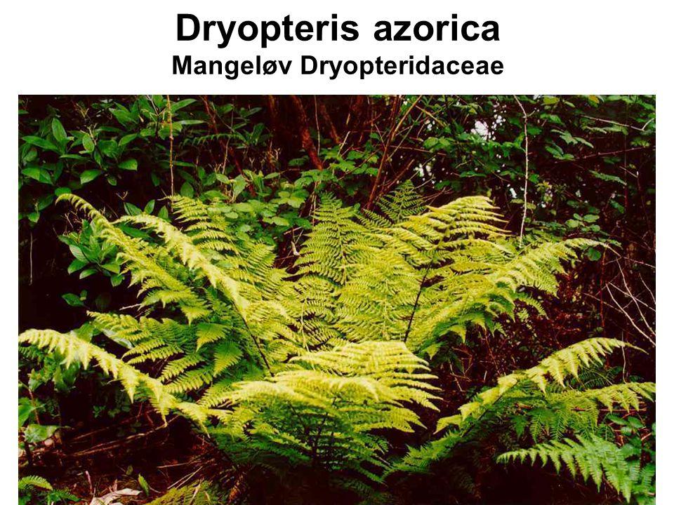 Dryopteris azorica Mangeløv Dryopteridaceae