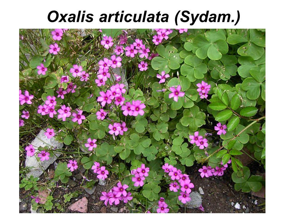 Oxalis articulata (Sydam.)