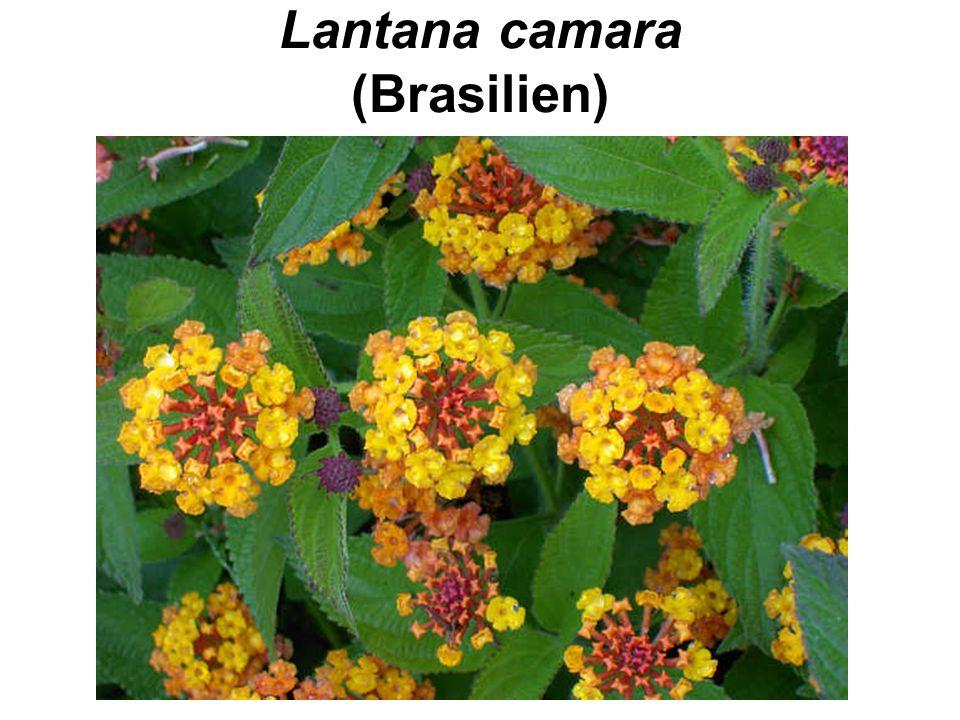 Lantana camara (Brasilien)