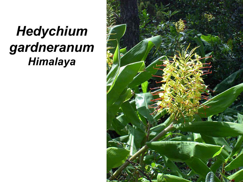 Hedychium gardneranum Himalaya
