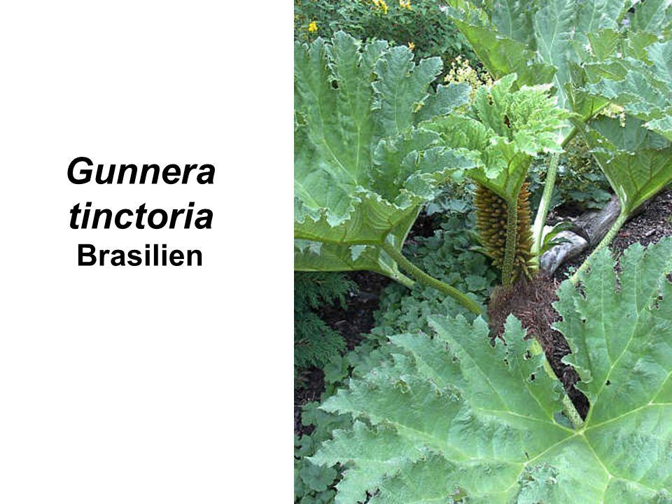 Gunnera tinctoria Brasilien