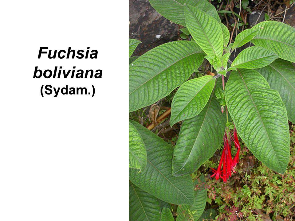 Fuchsia boliviana (Sydam.)