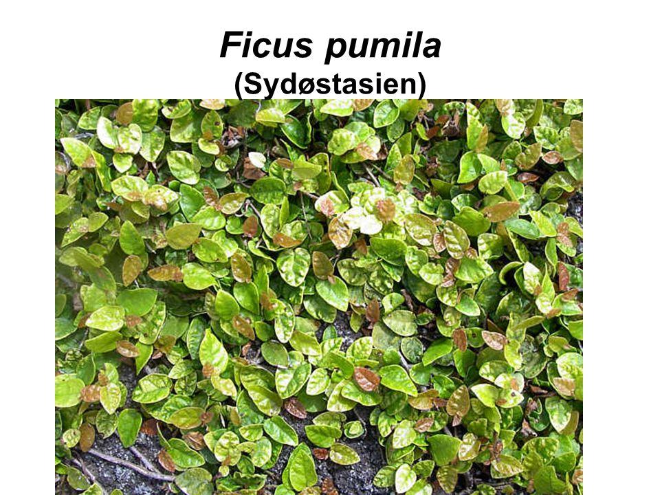 Ficus pumila (Sydøstasien)