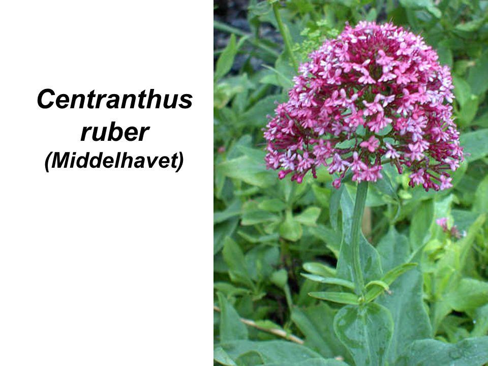 Centranthus ruber (Middelhavet)