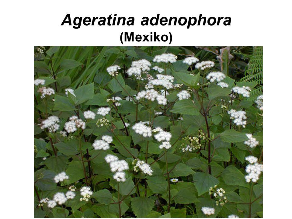 Ageratina adenophora (Mexiko)