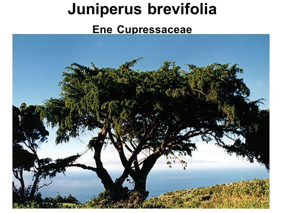 Juniperus brevifolia Ene Cupressaceae