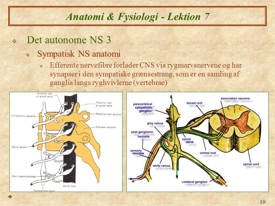 10 Anatomi & Fysiologi - Lektion 7  Det autonome NS 3  Sympatisk NS anatomi  Efferente nervefibre forlader CNS via rygmarvsnervene og har synapser