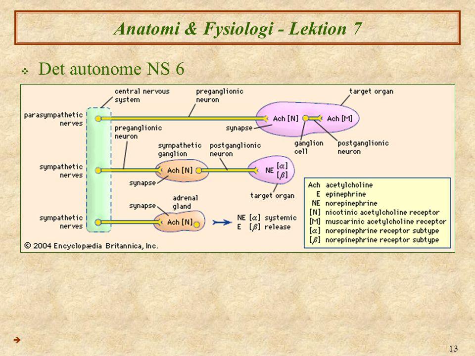 13 Anatomi & Fysiologi - Lektion 7  Det autonome NS 6 