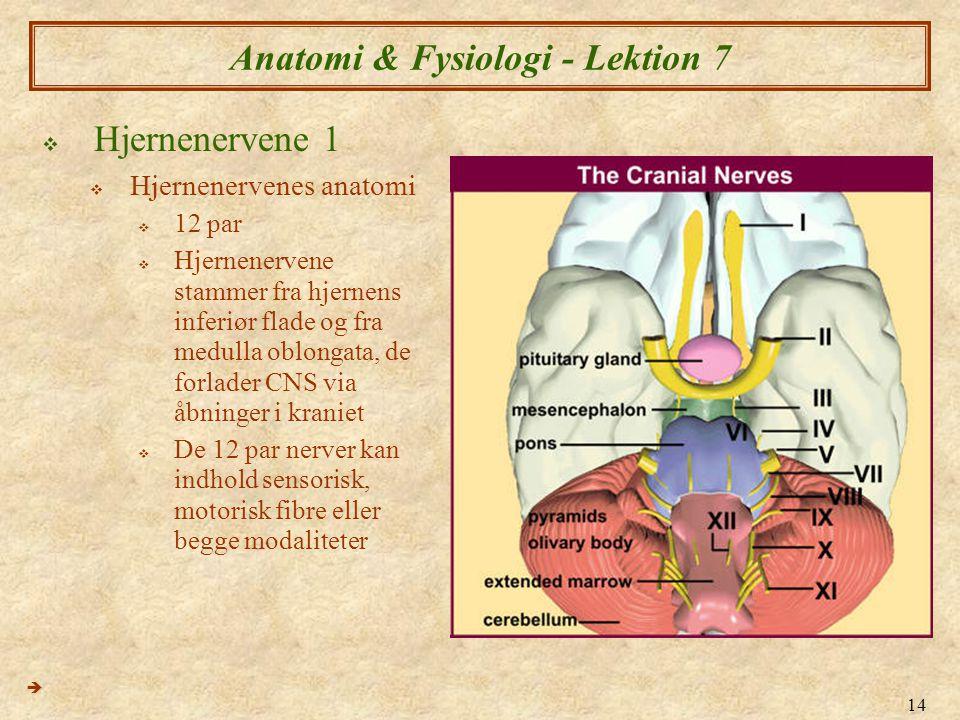 14 Anatomi & Fysiologi - Lektion 7  Hjernenervene 1  Hjernenervenes anatomi  12 par  Hjernenervene stammer fra hjernens inferiør flade og fra medu