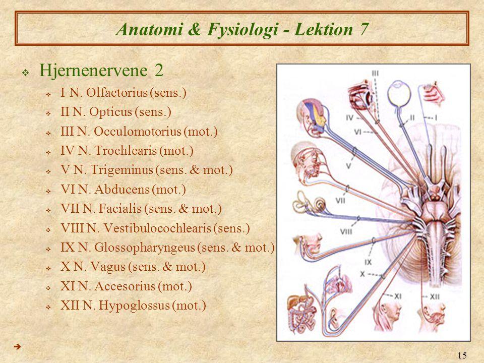 15 Anatomi & Fysiologi - Lektion 7  Hjernenervene 2  IN. Olfactorius (sens.)  II N. Opticus (sens.)  III N. Occulomotorius (mot.)  IV N. Trochlea